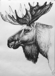 moose 4th or 5th or something by Concini