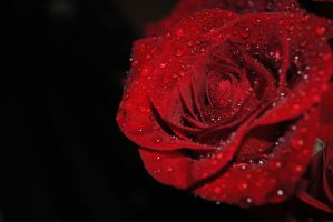 Red Rose by animaddict