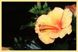 Hibiscus by hotrats51