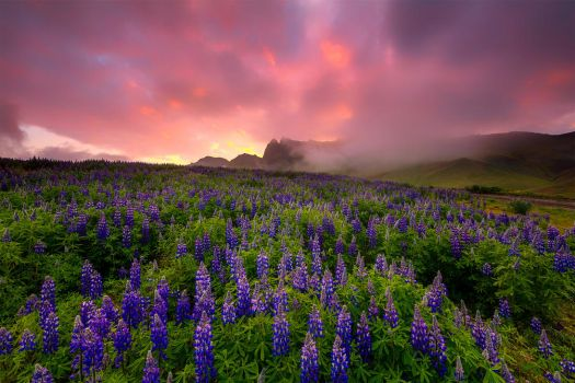 Lupins in the sunrise by paulmp