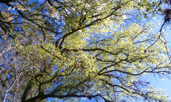 Sky of Blue, Tree of Green by amaranth333
