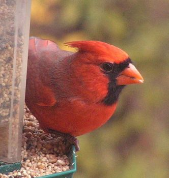 A Northern Cardinal by JocelyneR