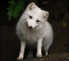 Arctic fox, casting for Disney by woxys