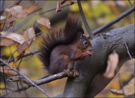 Squirrel by FrankAndCarySTOCK