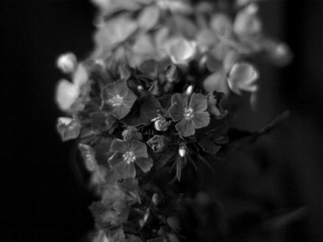 flowers b-w series III by 013926