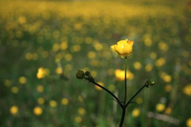 Field of Yellow by Theme3
