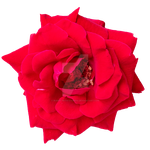 Rose PNG by Bunny-with-Camera