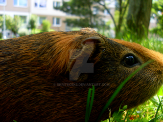Ferdik the Guinea Pig by Skritecek2