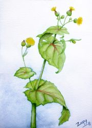 Sow thistle - Sonchus oleraceus v2 by l-Zoopy-l