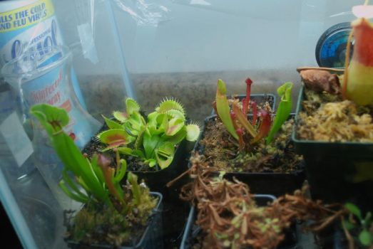 Venus Fly Trap by long-rifle