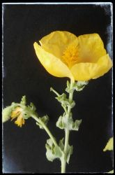 Yellow poppy flower by loveautumnandnature