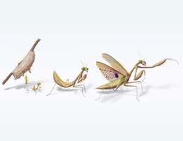 Mantis life cycle by porkcow