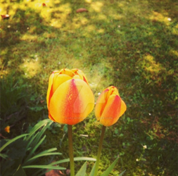 Red and yellow mixed Tulips by dragonfire70