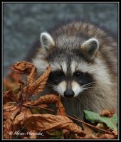 Raccoon 5 by Ptimac