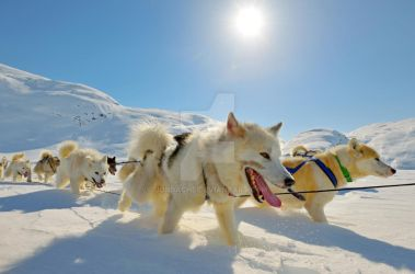 Dog sledges in Greenland by jordache