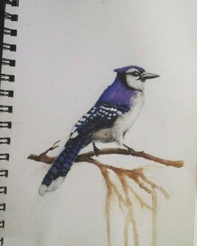 Bluejay Watercolor Sketch by Lynxcall