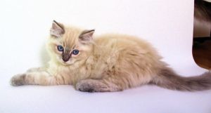 Blue eye blue lynx point ragdoll kitten by Carameldreamsx