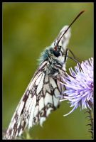 Blue Rinsed Marbled White by Wivelrod