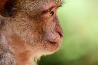 Macaque de Barbarie by Linnette68