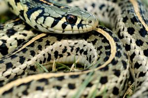 Thamnophis radix by michael-ray