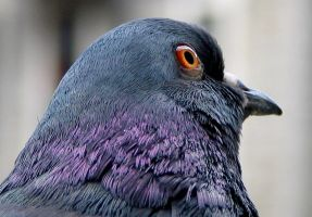 A Friendly Pigeon in Montreal by j-a-x