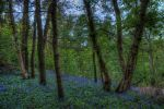 Bluebells in the forest by aglezerman