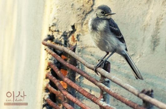 Young Wagtail by IsabellaBLK
