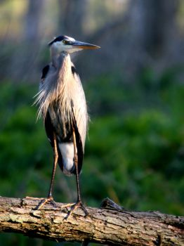 Great Blue Heron IV by natureguy
