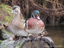Literal Wood Duck X2 by eaglesdarephoto