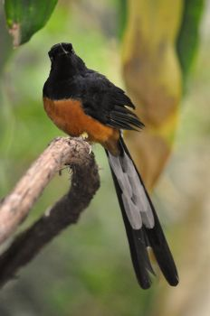 White rumped Shama by kerodragons