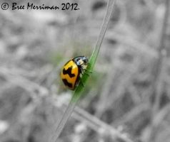 Fungus-eating Ladybird by BreeSpawn