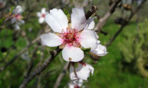 Almond Flower by dracontes