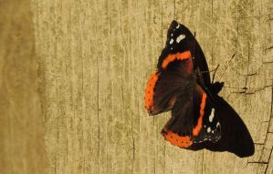 Red Admiral 2 by rbak13