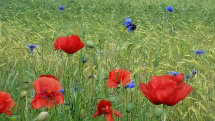 Poppies, cornflowers and a bumblebee