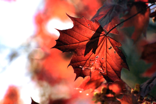 Red Maple by Cheryona