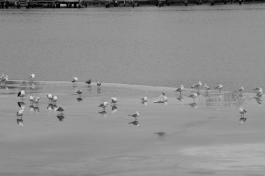 On Thin Ice By the Water, Seagull Gathering 15 by Miss-Tbones