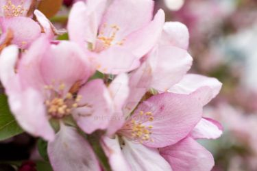 Tree Blossoms by Tregor