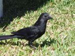 Groove-billed Ani by SilverMoon-Archer