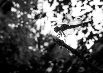 Dragonfly-140229 by yabbles