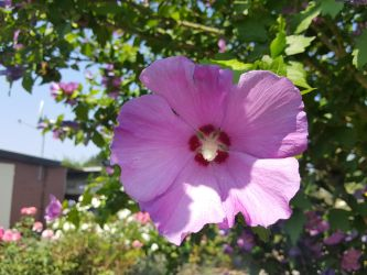 rose of sharon by InsanityPants