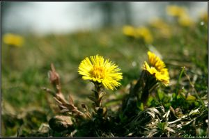 Coltsfoot by Clu-art