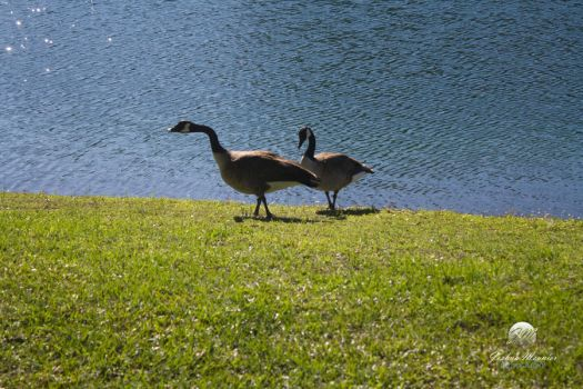 Geese at the Lakeside 4 by meunierjj