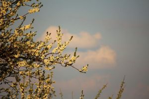 pear tree in spring by LoveForDetails