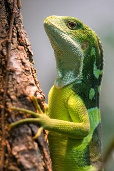 fidschi banded iguana by hepiladron