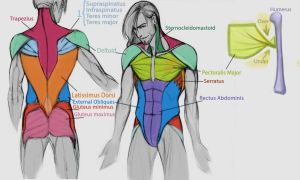 Torso Major Muscles by IllustrationMinion