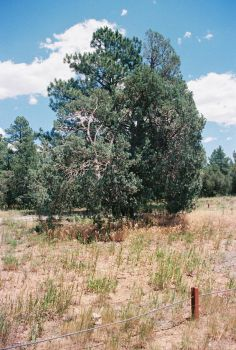 Pines at Pine Flat #4 by Texas1964