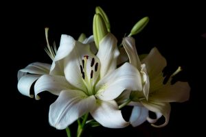 White Lily Stock II by Avestra-Stock
