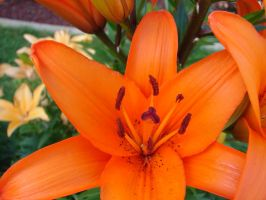 Tiger Lilies 4 by FantasyStock