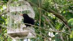 Blackbird on cage by GeaAusten