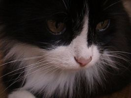 Blak and White Fluffy Cat -3 by Shangova